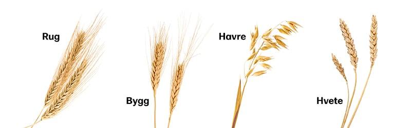 Rug bygg havre og hvete er ulike kornsorter